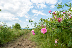 Damask rose. On the field Royalty Free Stock Image