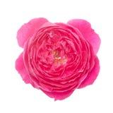 Damask rose Royalty Free Stock Photo