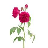 Damask rose Stock Photo