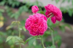 Damask rose. Pink damask rose blooming in garden Stock Photo