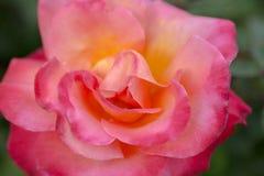 Damask rose - Rosa damascena stock photography