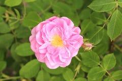 Damask Rose - Rosa x Damascena Royalty Free Stock Images