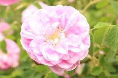 Damask Rose - Rosa x Damascena Stock Photo