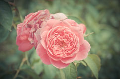 Damask rose, vintage flower Stock Image