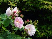 Damassé Rose Flowers et bourgeons images libres de droits