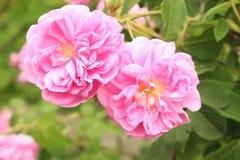 Damassé Rose - Rosa X Damascena Photo libre de droits