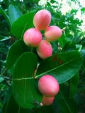 Damastpruimfruit in Sri Lanka Royalty-vrije Stock Foto's