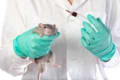 Dambo rat on the hands of a veterinarian on a white isolated background stock image