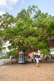 Holy bodhi ficus tree in the Dambulla Golden temple cave complex. DAMBULLA, SRI LANKA -  NOV 2016: Holy bodhi ficus tree in the Golden temple cave complex Stock Photos