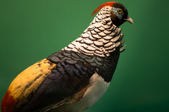 Dame Amhersts Pheasant Stockfoto