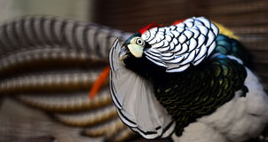 Dame Amhersts Pheasant Stockbilder