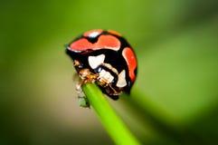 Dame Bug Lizenzfreie Stockfotografie