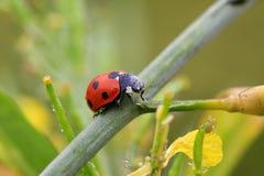 Dame Bug Stockbild