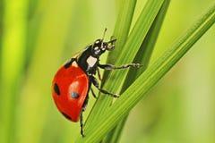 Dame Bug Lizenzfreies Stockbild
