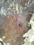 Dame Bug Stockfoto