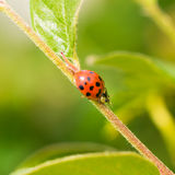 Dame Bug Eating Aphid royalty-vrije stock afbeelding