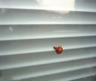 Dame Bug op het venster stock afbeelding