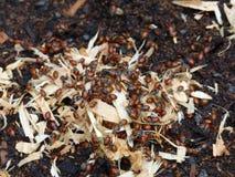 Dame Bugs die op Zaagsel kruipen Stock Afbeelding