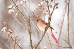 Dame Cardinal Stockbilder