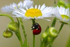 Dame-coléoptère Photo libre de droits