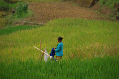 Dame die wasserij in padieveld Indonesië doen Stock Foto
