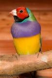 Dame Gouldian Finch Royalty-vrije Stock Foto's