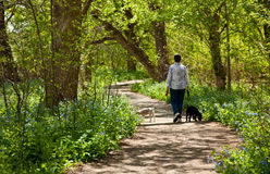 Dame mit Hunden auf Pfad in den Bluebells Stockbilder