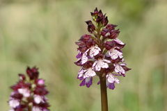 Dame Orchid Stock Afbeelding