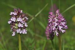 Dame Orchid und Kreuzung Lizenzfreies Stockfoto