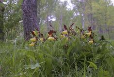 Dame-pantoffel orchidee Stock Foto