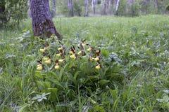 Dame-Pantoffelorchidee Lizenzfreie Stockbilder
