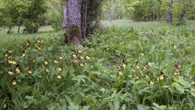 Dame-Pantoffelorchidee in ihrem natürlichen Lebensraum Lizenzfreie Stockbilder