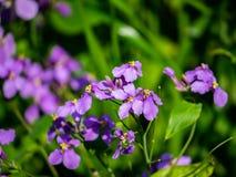 Dame`s rocket flowers in bloom royalty free stock image
