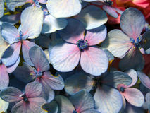 Dame's rocket, Hesperis matronalis blooming in light-blue Stock Images