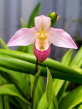 Dame Slipper Orchid Royalty-vrije Stock Fotografie