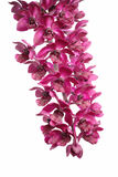 Dame Slipper Orchid Stock Fotografie