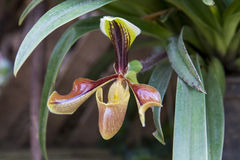 Dame Slipper Orchid Lizenzfreies Stockbild