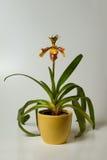Dame Slipper Orchid Royalty-vrije Stock Foto's