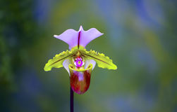 Dame Slipper Orchid stock foto's