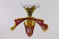 Dame Slipper Orchid Stock Afbeeldingen