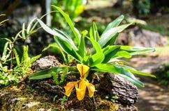 Dame Slipper Orchid, Orchidaceae, Paphiopedilum-villosum Royalty-vrije Stock Afbeelding