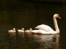 Dame Swan und ihre Schätzchen Lizenzfreie Stockfotografie