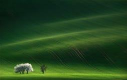 Damen im Weiß Blühende Bäume des weißen Frühlinges auf einem Hintergrund eines grünen Hügels, der durch die untergehende Sonne he Stockfotografie