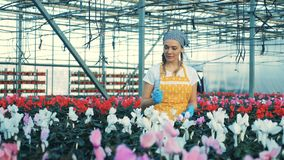 Damenarbeitskraft kontrolliert nett warmhouse Blumen stock video footage