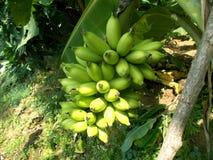 Damenfingerbanane oder kleine Bananenfrucht am Baum stockbild