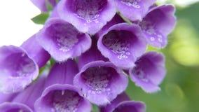 Damenhandschuhalias Fuchshandschuh und alias Fingerhut purpurea lizenzfreie stockbilder