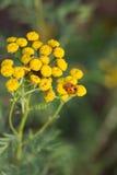 Damenkäfer auf Blume Lizenzfreie Stockfotos