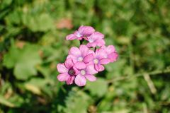Dames Rocket flower or forest hesperis blossoms in May woods. Purple wildflowers. Night violet sweet rocket, mother-of-the-evening royalty free stock image