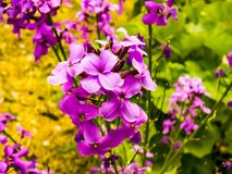Dames Rocket. Wild flower called Dames Rocket in Victor, Montana Stock Photography