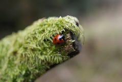 Damfågel/fel Royaltyfria Foton